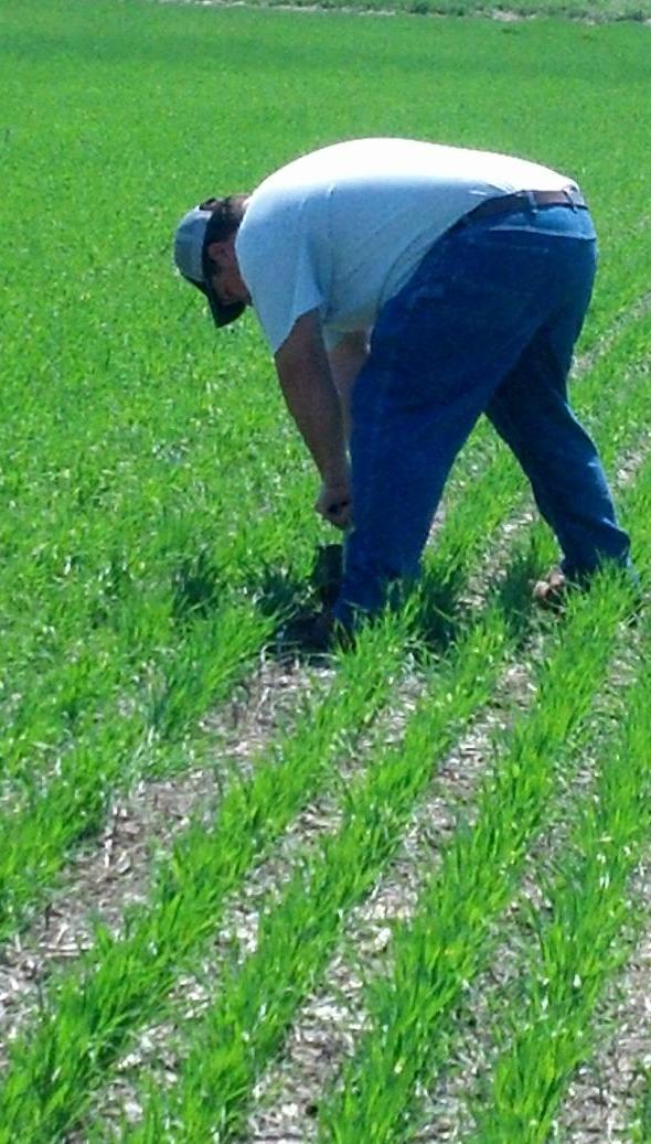 A cover crop plot on JA Scott farms