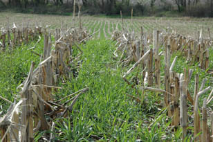 corn in cover crop