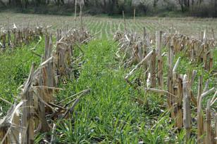 corn in cover crop