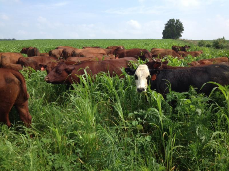 Union County farmer Chris Hollen seeded and grazed a warm season cover crop mix as part of a strategy to convert cropland to permanent pasture. Photo Credit: Chris Hollen