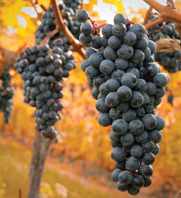 Harvest Grapes