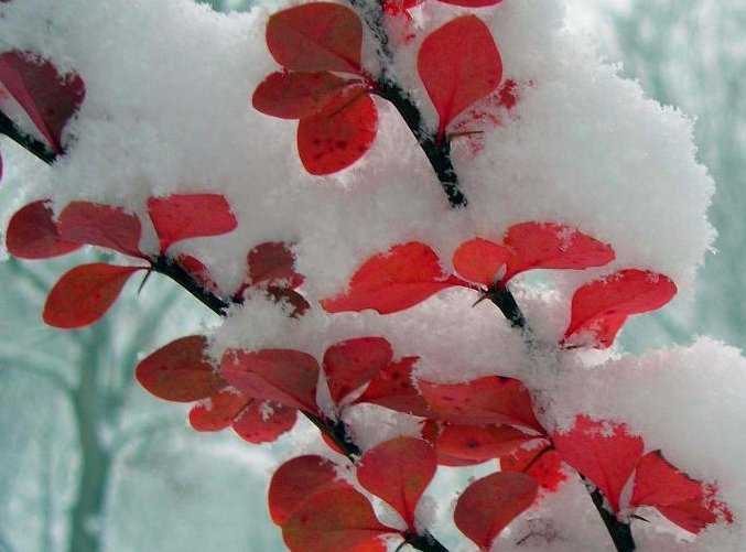 Red foliage against snow makes a great winter scene