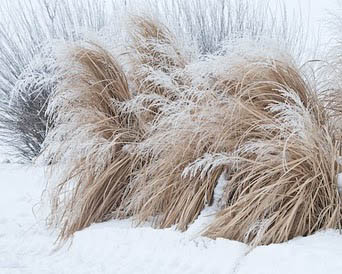grass laced with ice