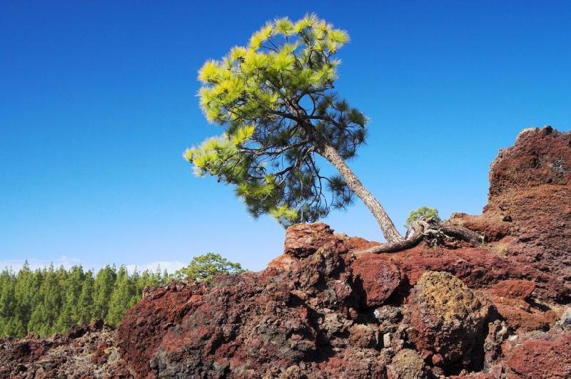 Volcano Tree
