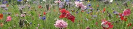 banner wildflower
