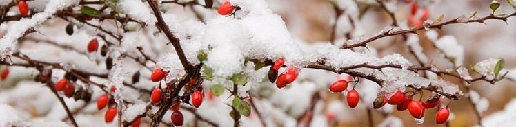 Berries snow