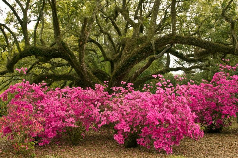 Azaleas Live Oak Jungle Gardens