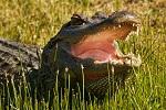 Alligator-Jungle Gardens
