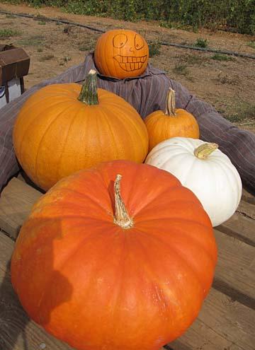 pumpkins - shone
