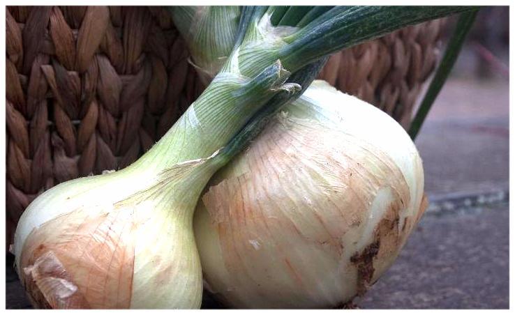 onions - walla walla