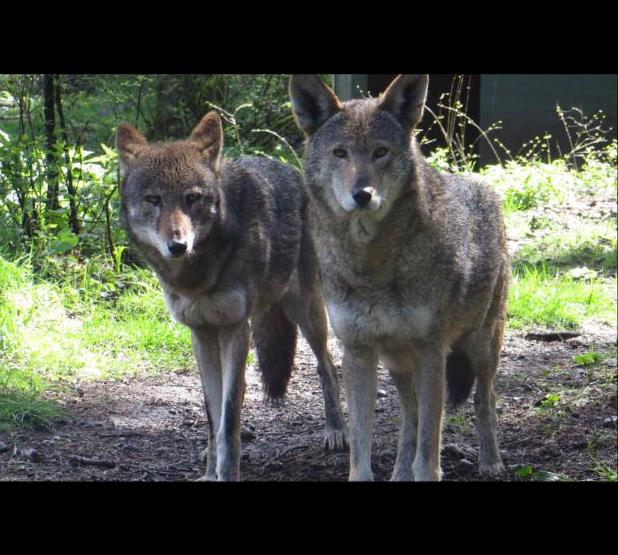 Two red wolves stand side-by-side