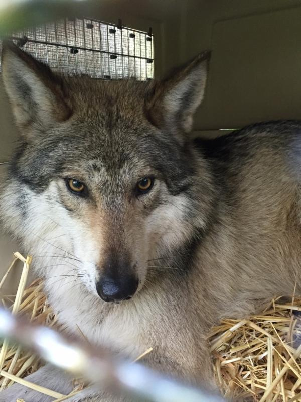 Crated wolf at Wolf Haven awaits transport