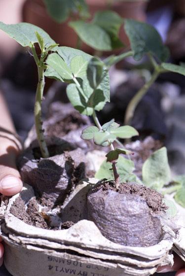 egg carten seedlings