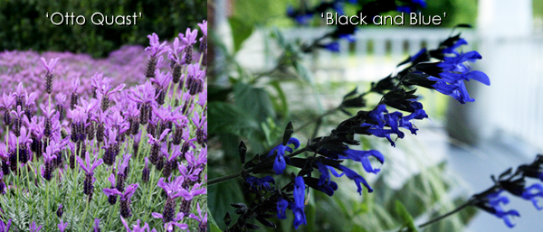 Lavandula 'Otto Quast' and Salvia 'Black and Blue'