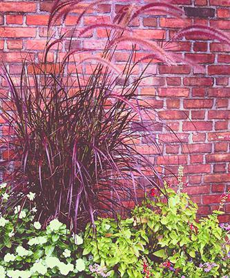 Pennisetum xadvena Rubrum