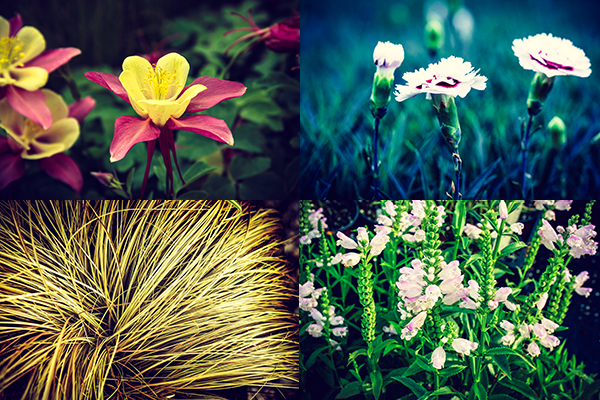 Clockwise from top left - Aquilegia 'Swan Pink-Yellow', Dianthus 'Silver Star', Carex 'Toffee Twist', Physostegia 'Pink Manners'