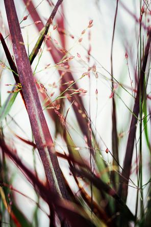 Panicum virgatum Hot Rod