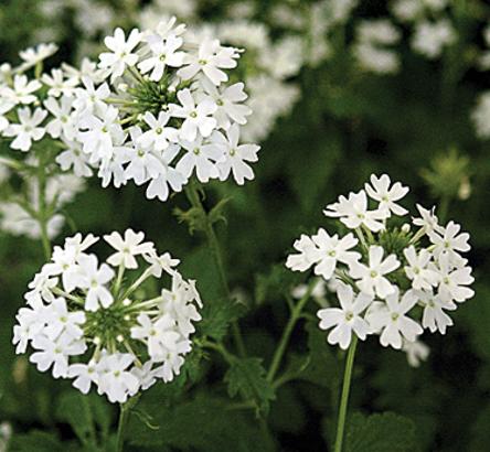 Verbena x Snowflurry