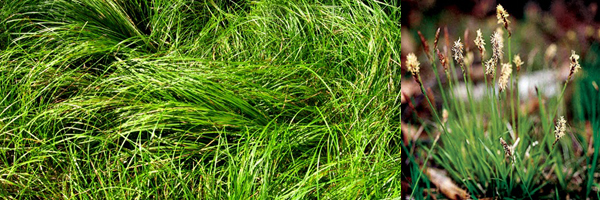 Carex_pensylvanica