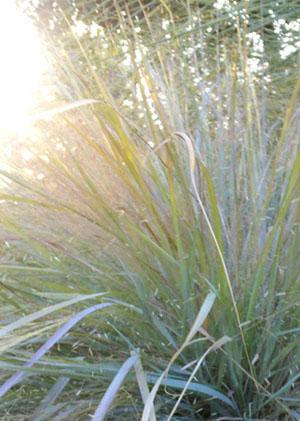 Eragrostis Tallahassee Sunset
