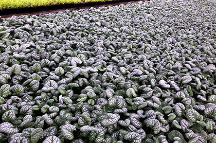 Brunnera Garden Candy_ Sea Heart