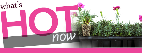 What's Hot Now...Dianthus