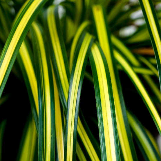 Carex oshimensis EverColor_ Eversheen