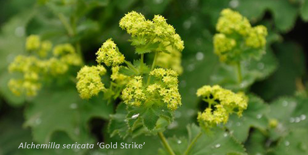 Alchemilla sericata 'Gold Strike'
