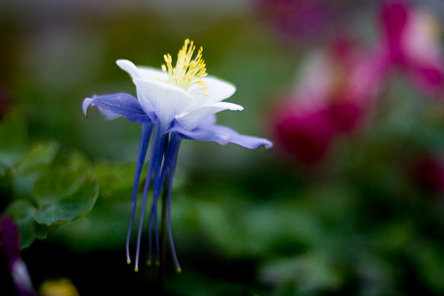 Aquilegia caerulea Origami_Blue-White