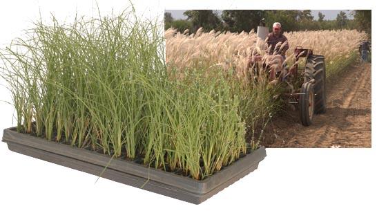 Ornamental Grass Production