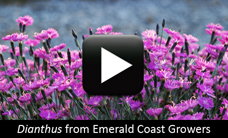 Dianthus from Emerald Coast Growers