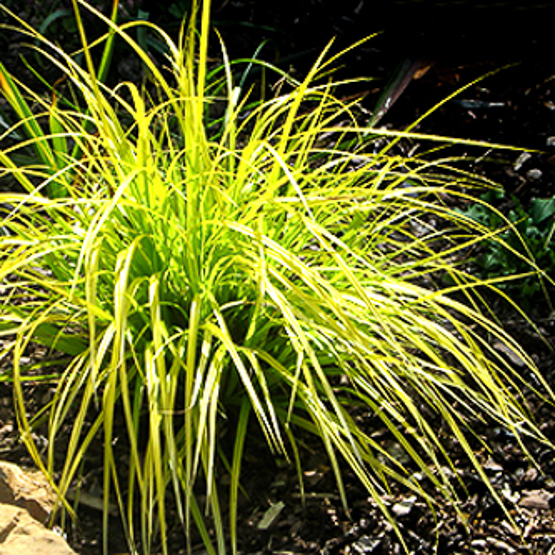 Carex oshimensis EverColor_ Everillo