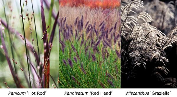 Panicum - Pennnisetum - Miscanthus