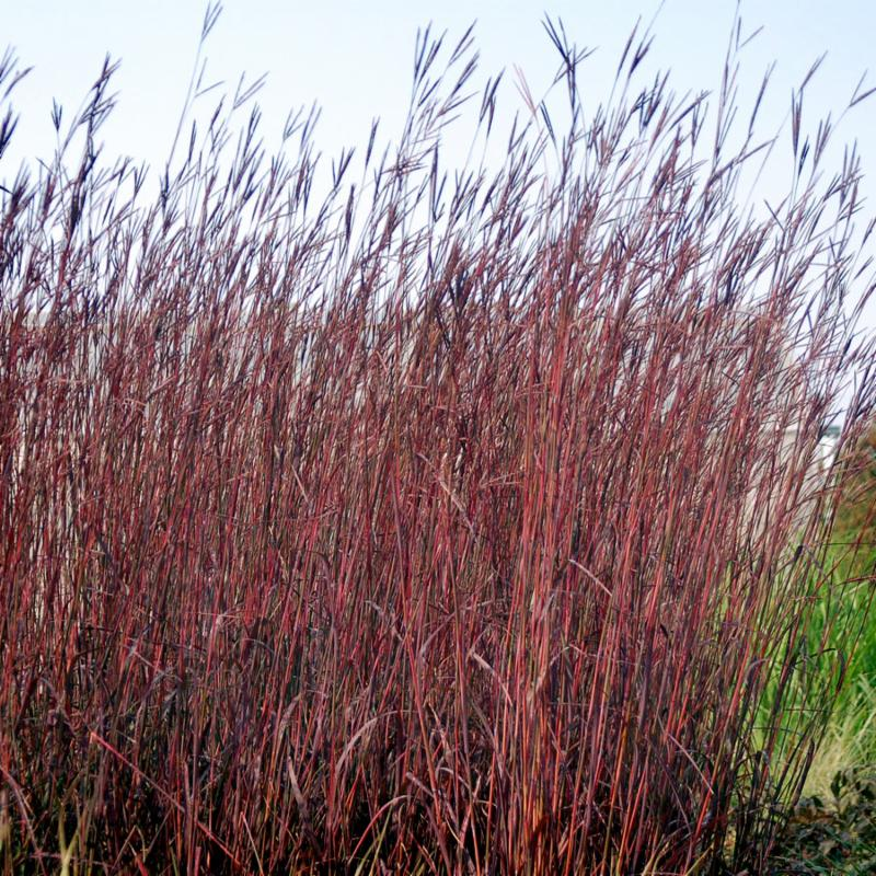 Andropogon gerardii Red October
