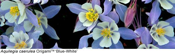Aquilegia Blue-White