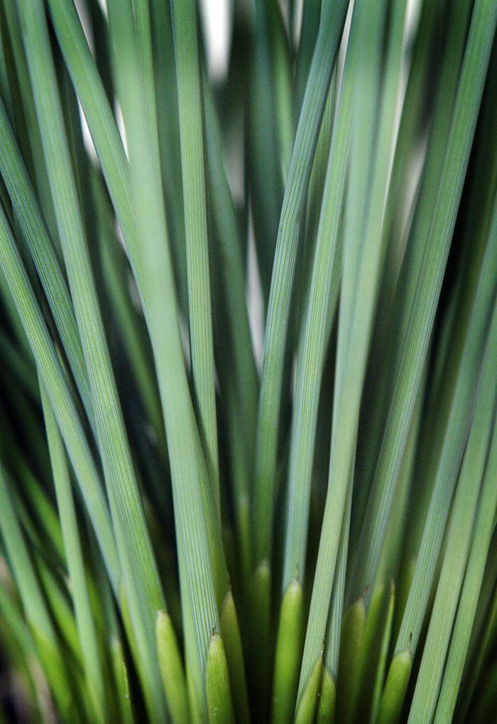 Juncus inflexus _Fantastic Foliage Blue Arrows__