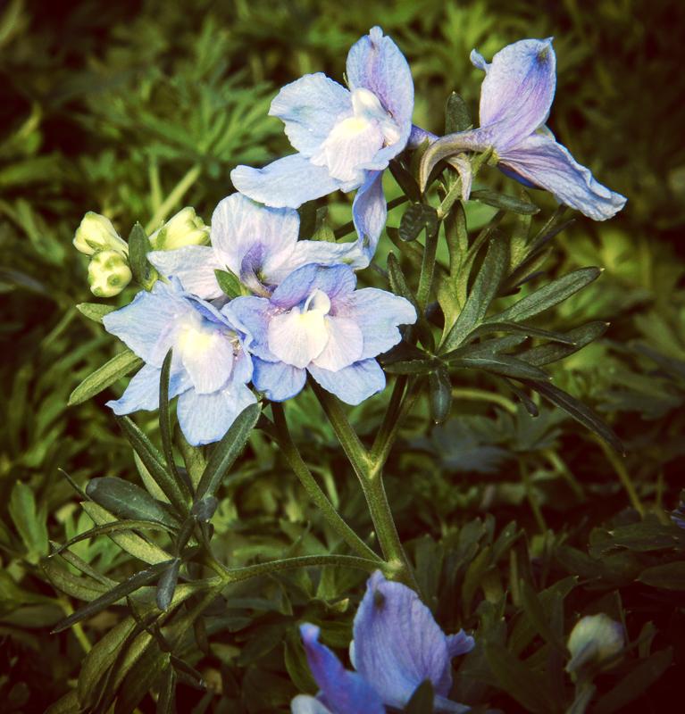 Delphinium grandiflorum Summer Blues
