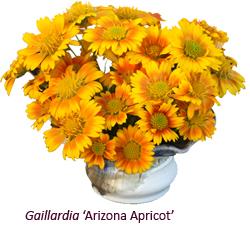 Gaillardia 'Arizona Apricot'