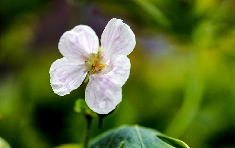 Geranium xcantabrigiense 'Biokovo'