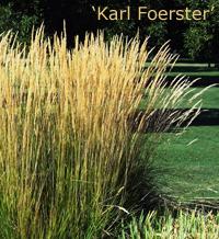 Calamagrostis Karl Foerster