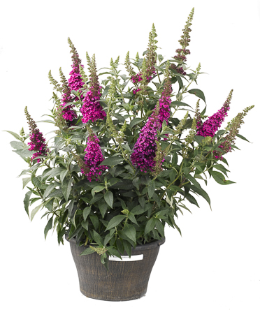Buddleia Buzz_ Hot Raspberry