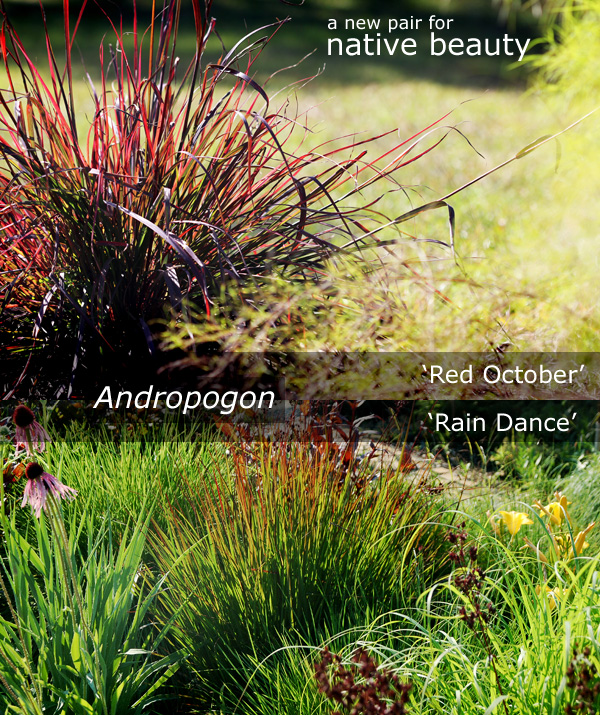 Andropogon _Rain Dance__ _Red October_
