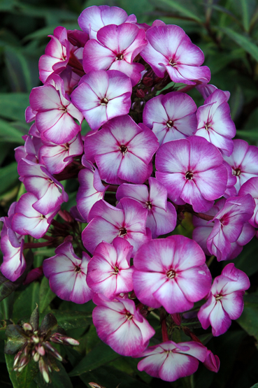 Phlox Sweet Summer_ Fantasy_ Purple Bicolor