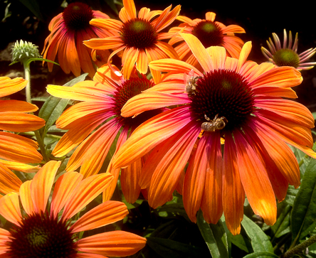 Echinacea Butterfly_ Rainbow Marcella