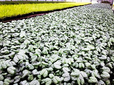 Brunnera Garden Candy_ Silver Heart