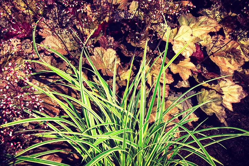 Carex 'Ice Ballet'