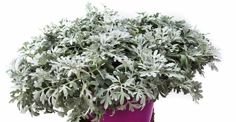 Artemisia stelleriana Silver Brocade