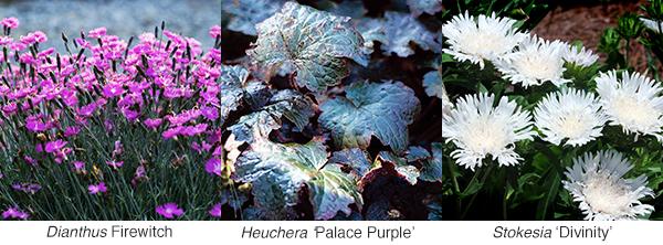 Dianthus Heuchera Stokesia