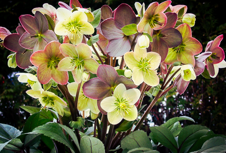 Helleborus Winter Magic_ Candy Love