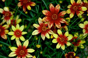 Coreopsis x Route 66